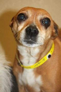 4 / 14 ***SENIOR*** Petango.com – Meet Ginger, a 7 years Terrier, Rat / Mix available for adoption in BOONE, NC Contact Information Address 312 Paws Way, BOONE, NC, 28607 Phone (828) 264-7865 Website http://www.wataugahumanesociet y.org Email wataugahumane@gmail.com