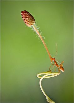 Wow! What a strong ant.