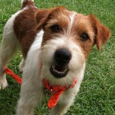 CLT Russells - Top Quality Russell Terriers in Southern California  (Shorty Type Jack Russell)