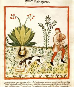 """Fructus Mandragorae"", miniatura tratta dal Tacuinum sanitatis di Vienna"