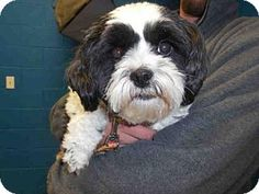 Pictures of GIZMO a Shih Tzu/Toy Poodle Mix for adoption in St. Peters, MO who needs a loving home.