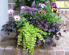 Flowering and foliage plants for a Spring container- pink daisy-like flowers of osteospermum, Delta 'Purple Blotch with Yellow Wings' pansies, purple