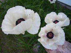 POPPY-SEEDS-California-White-Linen-Botanical-Interests-1-DAY-SHIPPING