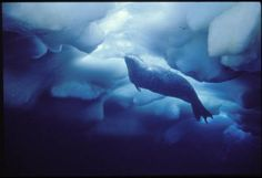 Weddell seal under sea ice, Antarctica, :: Library Exhibits Collection Usc Library, University Of Southern California, Cinema Posters, Antarctica, Illuminated Manuscript, Social Science, Black History, Sea Ice, Digital Image
