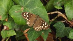 Speckled wood butterfly (insects ). Photo by Mooween