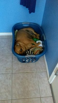 puggles love laundry even mine. He would rather be in the clean clothes basket than his bed