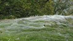 woven, spun cobwebs on a dewy morning completely change the perception of space and form. cobwebs on grass - Google Search