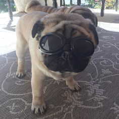 Do you think I'm sexy?!😬Sporting my new doggles.😎 I don't like them but the Dr. recommended I wear them in the sun because of my degenerative eye problems. Bleh! Momma says I look cool like Snoopy... whoever that is?!🙄🙌🏻 #pug #packer #puglife #pugsofinstagram #thetomcoteshow #pugbasement #pugstagram #dog #pets #cute #eyeprotection #snoopy #cool #funny #family #follow #friends #blessed #instagood #photooftheday #love #laugh #lifeisgood #lookinggood #doggles @doggles_eyewear