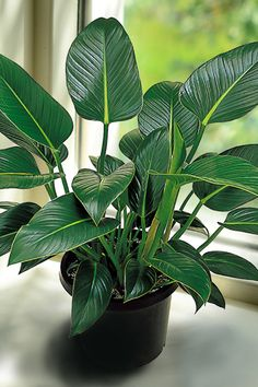 22 Best Indoor Plants in Pots Ideas images in 2019 philodendron congo :: Congo has extremely tough and durable leaves which make it very suitable for use in busy homes. High and low light areas. Also suitable for the patio or semi shaded garden areas.