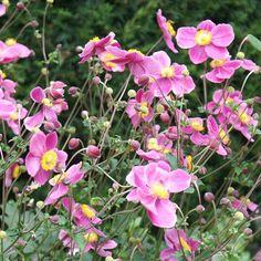 Anemone japonica 'Splendens' 3L - Bents