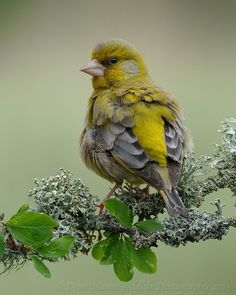 Ruffled Greenfinch by Dean Mason on 500px