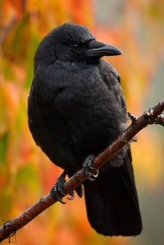 Crow - love the sound of crows on a brisk autumn day...so pretty, all fluffed up #crow