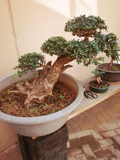 Olea Africana bonsai in training
