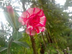 Adenium flower :)