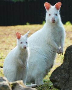 This photo of an albino red-necked wallaby female and its young was taken at the Zlin Zoo, the Czech Republic June Albino wallabys usually bear brown-colored offsprings and a baby kangaroo all-white as its mother is a rarity. Amazing Animals, Unusual Animals, Animals Beautiful, Cute Baby Animals, Animals And Pets, Funny Animals, Wild Animals, Rare Albino Animals, Australian Animals
