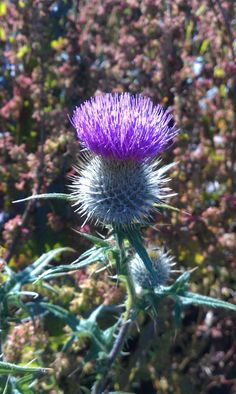 Thistle, the national emblem of Scotland. Glasgow, Edinburgh, Interesting History, Scottish Highlands, Countries Of The World, Landscape Photos, Ancestry, Travel Around, Beautiful Flowers