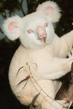 San Diego Zoo's Onya-Birri  (Australian aboriginal words meaning Ghost Boy) is an albino koala | photo by San Diego Zoo
