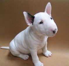 Omg I want him!!! Soo cute! (Bull Terrier pup)