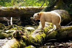 spirit bear is only found along the northern coast of the GBRF, near Terrace, Kitimat, Prince Rupert
