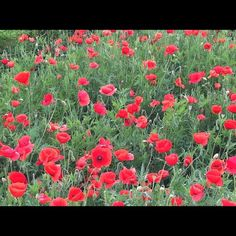Georgetown TX is the red poppy capital of TX.