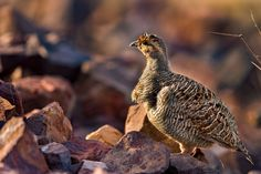 Grey francolin - Spotted this grey francolin on safari for tigers in Ranthambhore. Though flightless, I have seen them take short hops when alarmed by our vehicle.
