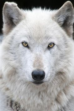A gray wolf in Wolf Haven International in Washington state.