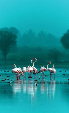 Flamingos in a world of aqua Pretty Birds, Beautiful Birds, Animals Beautiful, Animals And Pets, Cute Animals, Funny Animals, Cool Photos, Beautiful Pictures, Tier Fotos