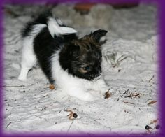 We have some wonderful memories of our mi-ki puppies from past litters here at Always Adorable Mi-kis