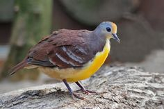 cinnamon ground dove  (photo by peter z)