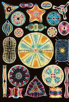 Art of Diatom algae (from Ernst Haeckel)