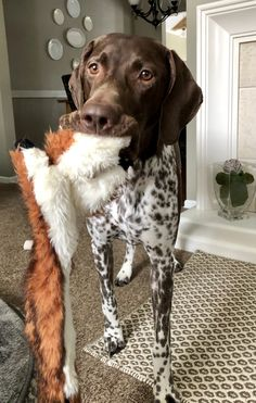 OMG, this is Marlee! W/her Foxy. just sayin-OMG, this is Marlee! W/her Foxy…. just sayin OMG, this is Marlee! W/her Foxy…. just sayin - Gsp Puppies, Pointer Puppies, Pointer Dog, Baby Puppies, Baby Dogs, Cute Puppies, Cute Dogs, Doggies, Beagle