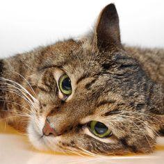 O pelo curto europeu pode ser comparado com qualquer raça de gato doméstico criada naturalmente