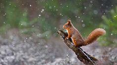 Eurasian red squirrel in Cairngorms National Park, Scotland (© Sue Demetriou/Offset) Bing Everyday Wallpaper 2017-01-21, T5x5RY [Bing Everyday Wall Paper 2017-01-21] url = http://www.bing.com/az/hprichbg/rb/ScottishSquirrel_EN-AU11482907877_1920x1080.jpg