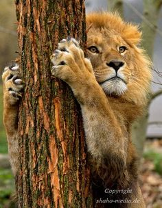 This tree hugger is actually marking his territory and sharpening his claws.