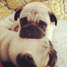Pug cuddles -- pugs always have to rest their heads