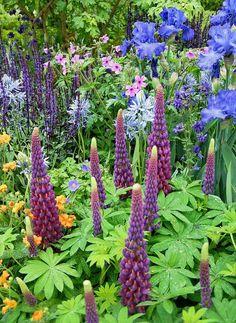 Der er mange spir i dette bed, som jeg har set på Chelsea Flower Show, bl.a. de skønne lupiner 'Masterpiece', iris, kæmpeskilla og staudesalvie. Ind imellem nellikerods orangegule knapper og lyserøde storkenæb.