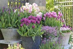 Beautiful tulips!