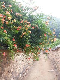 대구화원의 능소화골목 Doha, Nature Pictures, Country Life, Watercolor Flowers, Still Life, Vines, Scenery, Bloom, Illustration