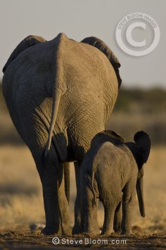 African elephant mother and calf from behind, Etosha National Park, Namibia by Steve Bloom