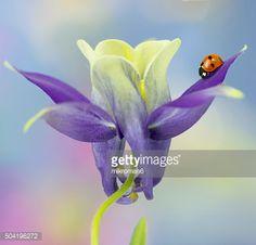 Ladybird on Columbine flower