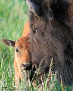 11 Animals to Give Your Heart to & How to Take Action Proof Of Life, Baby Buffalo, Best Hug, Mountain Lion, Down On The Farm, Small Farm, My Animal, Beautiful Creatures, Mother Nature
