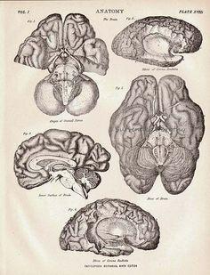 Human Anatomy Brain 1892.