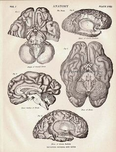 ANATOMY: Human Brain (c. 1892). Did you know that when awake, the human brain produces enough electricity to power a small light bulb? How cool!