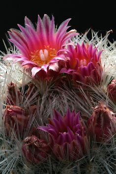 Kaktus * Escobaria laredoi