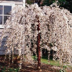 New ideas snow fountain weeping cherry tree prunus Landscaping Trees, Front Yard Landscaping, Hydrangea Landscaping, Natural Landscaping, Driveway Landscaping, Weeping Blue Atlas Cedar, Weeping Norway Spruce, Weeping Cherry Tree, Branches