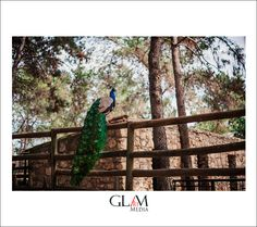 Free peacocks in guadalajara zoo