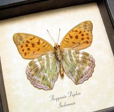 Product Description Species: Argynnis paphia Common Name: Silver-washed fritillary Native Origin: Indonesia Frame Size: 5″ x 5″ Frame Color: black Wood Frame: Finest Handmade Museum Quality Sealed …