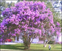 Twilight Crape Myrtle Amazing Purple Blooms on a Low Maintenance Crape Myrtle