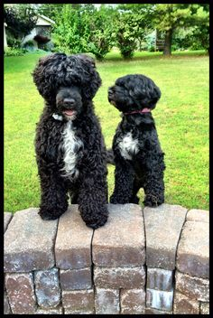 Portuguese Water Dogs!
