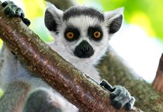 Katta Lemur Cub - Ringtail Lemur